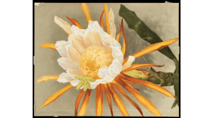 Cereus, by Mrs. Duffield.