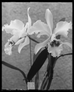 Cattleya Snow Queen from the Massachusetts Horticultural Society Library's Edwin Hale Lincoln Collection